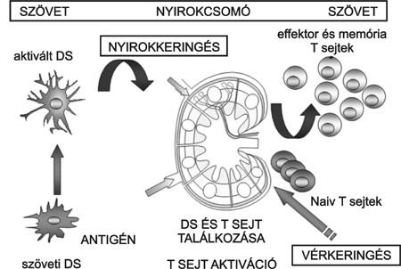 Dendritikus sejt